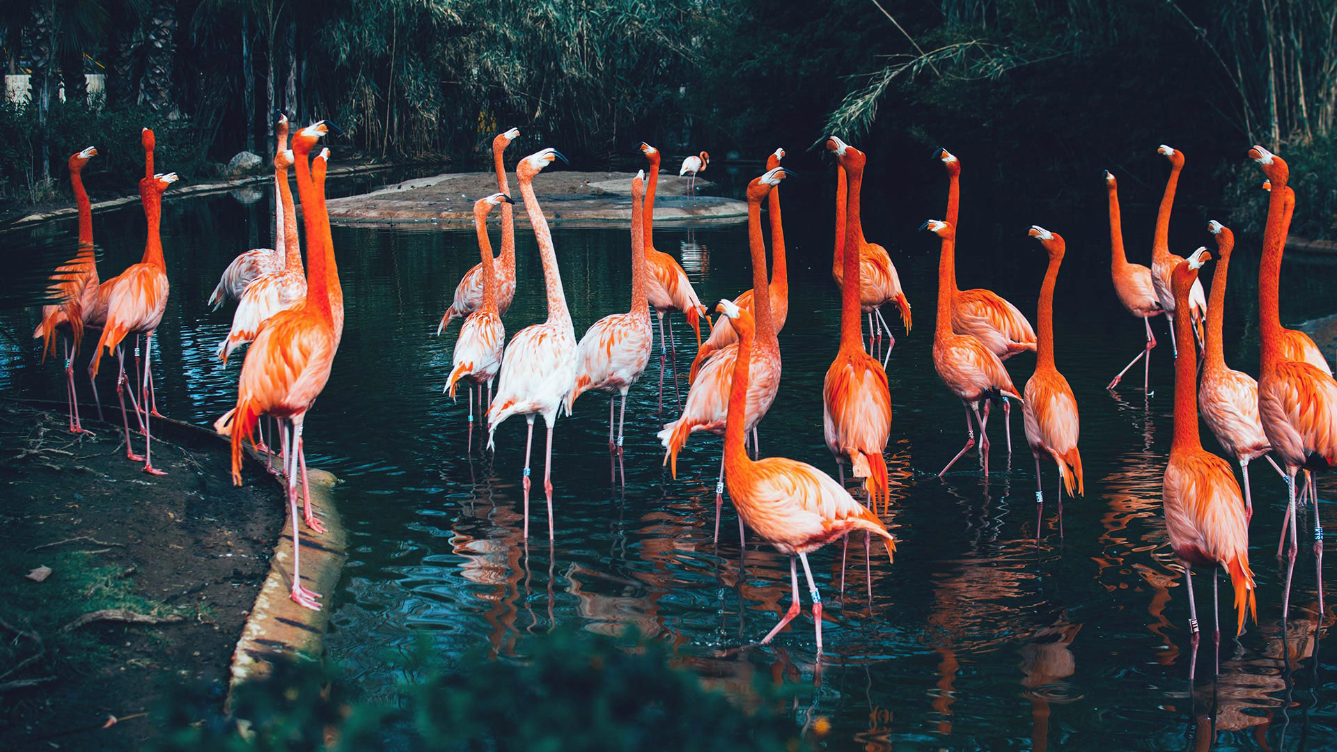 Les flamants roses | Mulhouse Zoo, zoological and botanical park