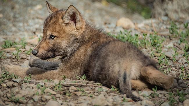 ad146d28905 Loup du Canada ⋆ Zoo de Mulhouse