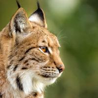 lynx mulhouse zoo zoological and botanical park