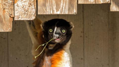Naissance d'un lémurien : le propithèque couronné   Zoo de Mulhouse, parc zoologique et botanique
