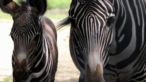Votez pour le prénom du petit zèbre ! | Zoo de Mulhouse, parc zoologique et botanique