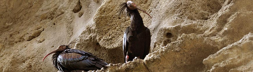 Des ibis chauves à Jerez