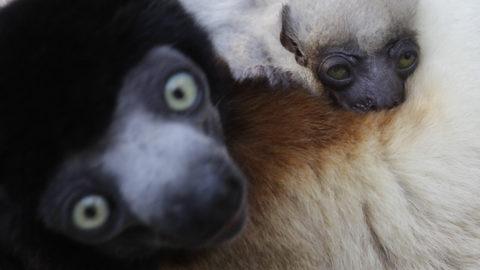 Bienvenue à Jao, le bébé propithèque couronné ! | Zoo de Mulhouse, parc zoologique et botanique