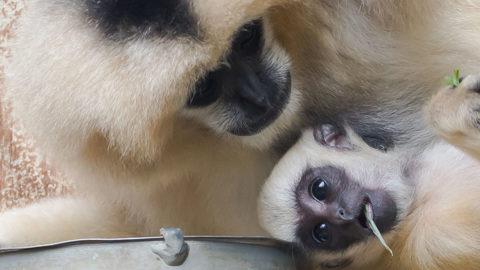 En savoir plus sur 'Zoom sur une espèce : les gibbons à favoris'