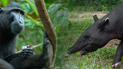 En savoir plus sur 'Deux nouvelles espèces : le tapir malais et le macaque à crête'