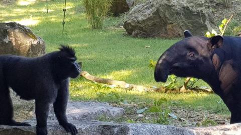 Tapir et macaque : les étapes de la mise en contact | Zoo de Mulhouse, parc zoologique et botanique
