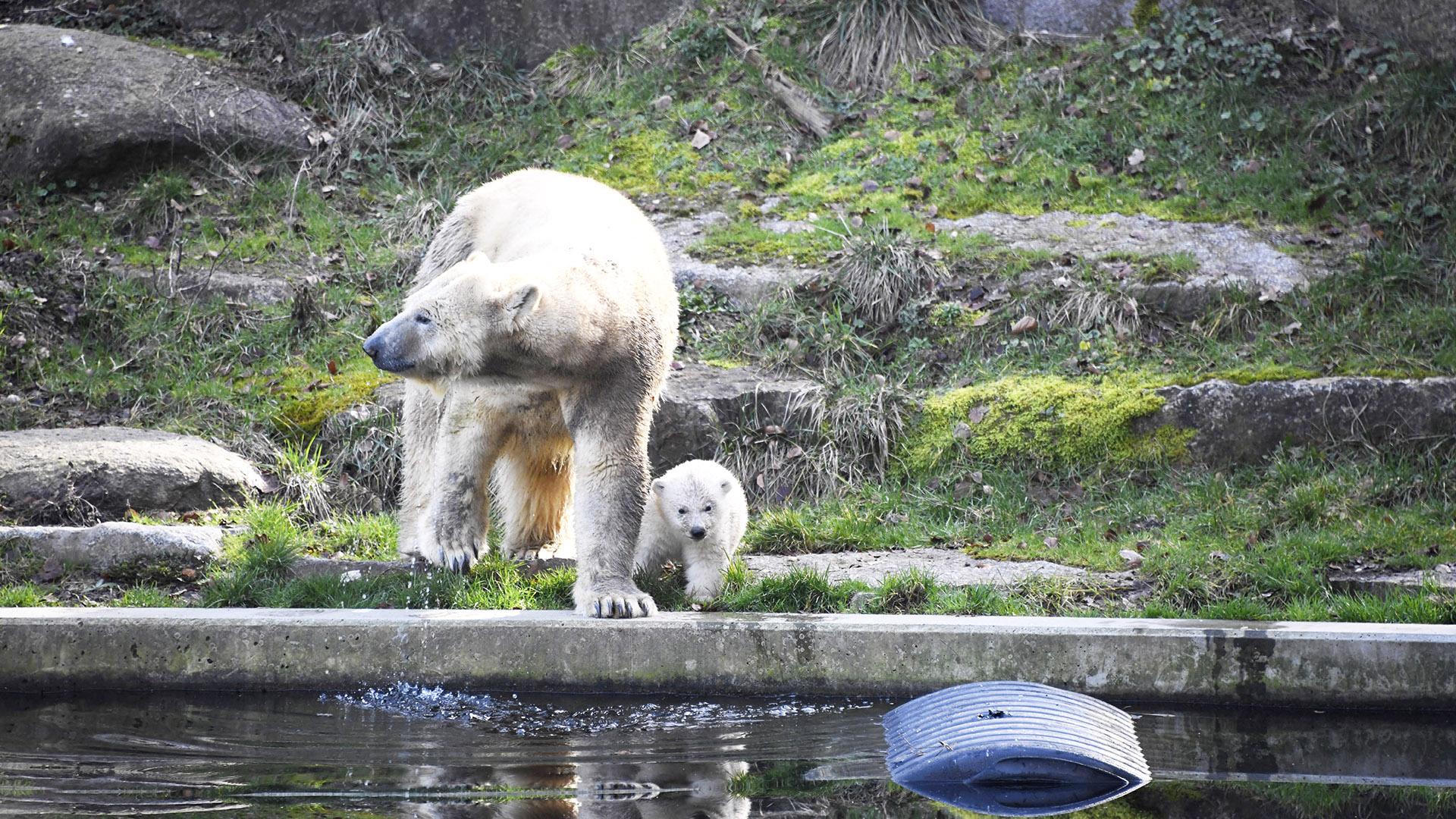 Sortie de l'ourson polaire