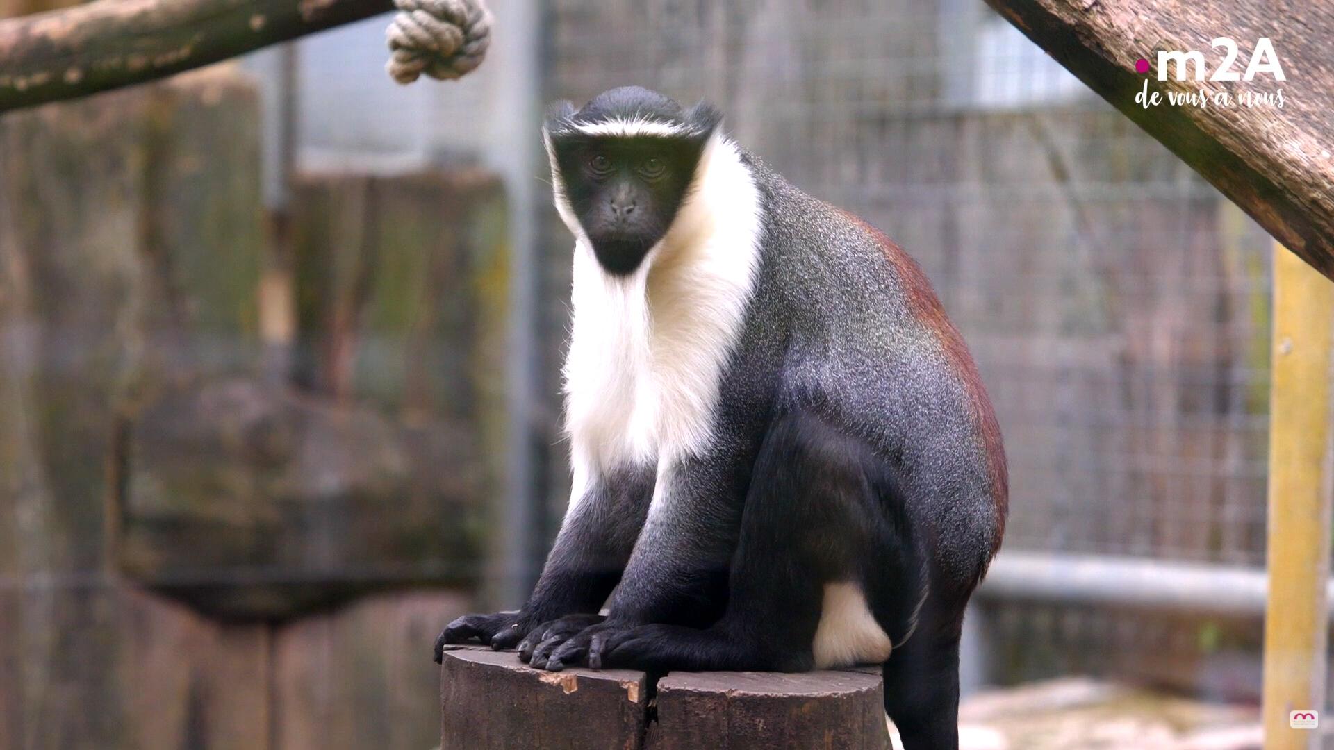 Conservaiton ex-situ au zoo de Mulhouse : cercopithèque de roloway